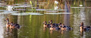 Lagoon and Plumed Whistling ducks
