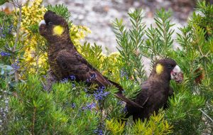 Yellow-tailed Black-Cockatoos
