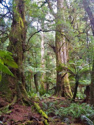 Tarkine rainforest - tall and ancient. Tasmania