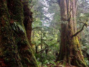 Tarkine rainforest - cool and mossy. Tasmania