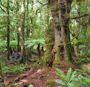 Tarkine rainforest - leave only footprints, take only photographs. Tasmania