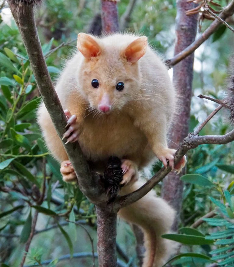 Golden brushtail possum. Tasmania