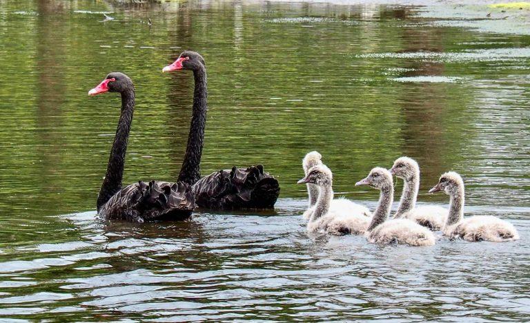 Black Swans with cygnets. Tasmania