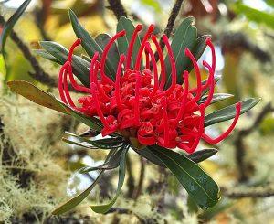 Waratah in flower, Central Plateau. Tasmania