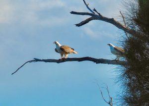 Sea Eagles near Triabunna. Tasmania