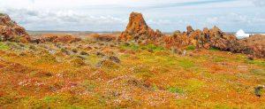 Tarkine flower field. Tasmania