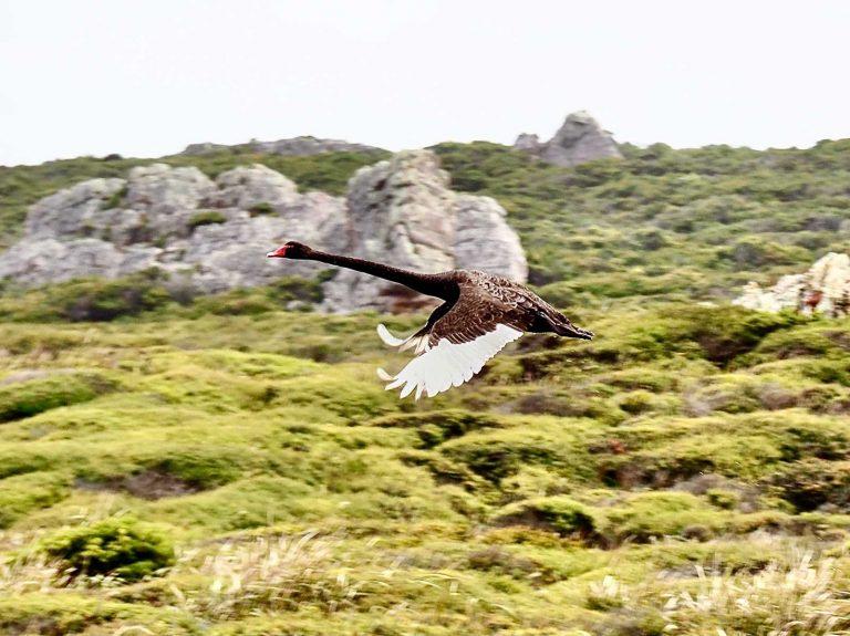 Black swan flying by the Tarkine. Tasmania