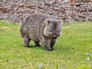 Wombat on the Tarkine coast. Tasmania