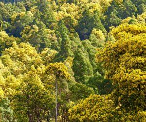 Wattle Day - Nicholls Rivulet southern Tasmania